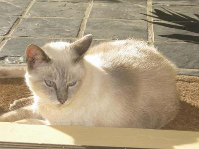 Our blue point Siamese, Snowflake