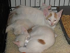 cream kittens