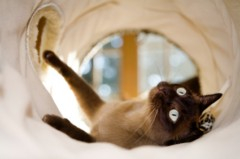 Siamese Cat Photos