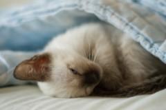 Siamese Cat Photos