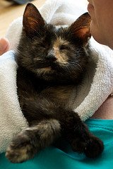 black and brown kitten