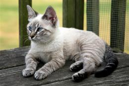 Siamese Mix Cat
